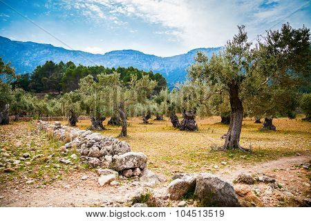 Beautiful Old Olive Trees Valley