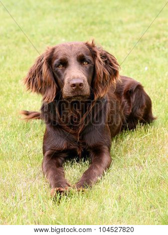 Typical German Spaniel On A Green Grass Lawn