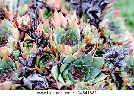 Common Houseleek Sempervivum