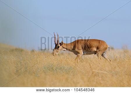 Wild Male Saiga Antelope In Kalmykia Steppe