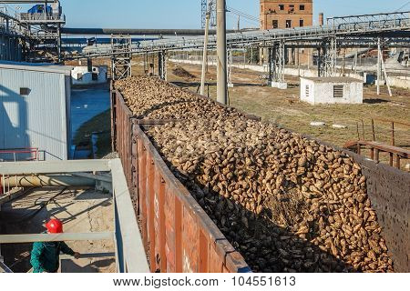 Freight Wagons With Sugar Beets On The Railroad At Beet Sugar Plant. Unloading Of Sugar Beet Factory