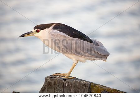 Black-crowned Night-Heron (Nycticorax nycticorax), close-up