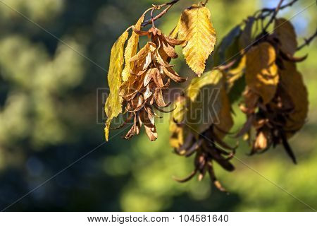 Inflorescence And Leaves Of A Hornbeam (carpinus Betulus) In Autumn