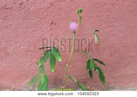 Mimosa pudica (impatiens) flower of the genus Mimosa