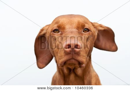 Serious Looking Hungarian Vizsla Dog Closeup