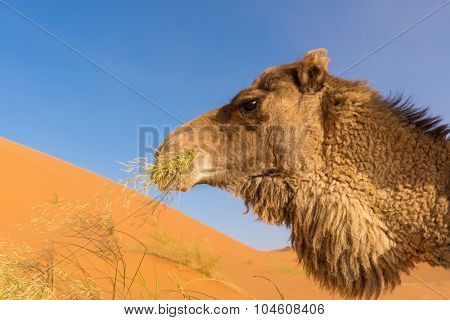Africa, morocco - close up of wild camel eating grass in Sahara desert