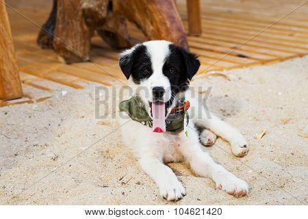 Young Cute Dog Gaped On The Beach