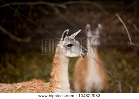 Close Up Portrait Of Guanako Llama