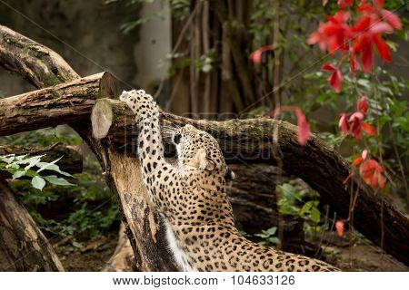 Shot Of Persian Leopard