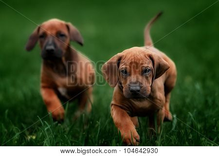Adorable little Rhodesian Ridgeback puppies playing together in garden. Funny expressions in their f