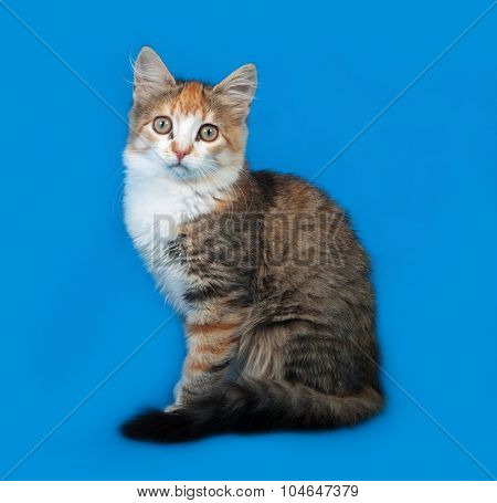 Fluffy tricolor kitten sitting on blue background poster