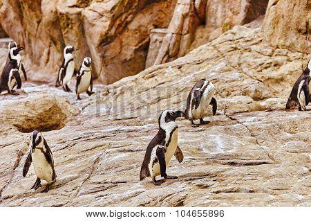 Jackass Penguin.