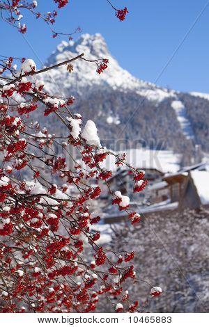 Rowan tree in winter.