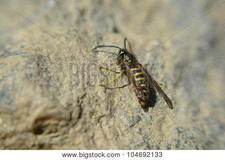 Macro Yellowjacket Wasp On A Rock