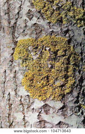 Texture Of  Manchurian Walnut Bark