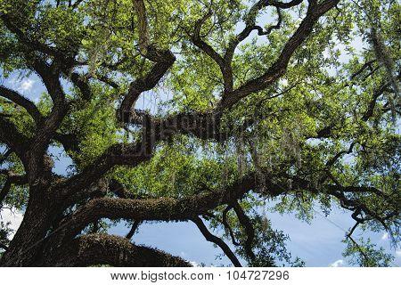 Southern Live Oak Tree - Quercus virginiana