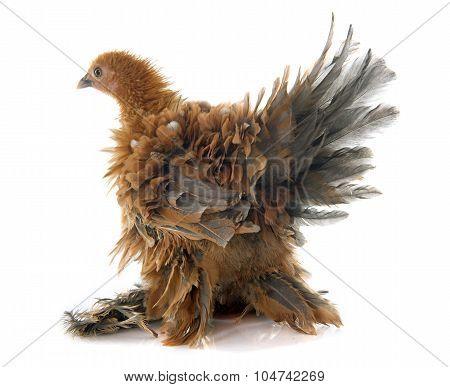 Curly Feathered Chicken Pekin
