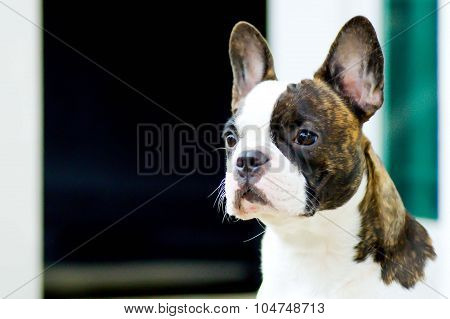 French Bulldog's Waitting For The Man