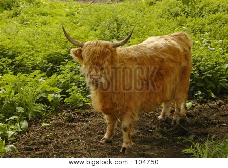 A young highland cow, Scotland may 2005 poster