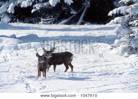 Mule Deer In Snow Odocoileus Hemionus 2