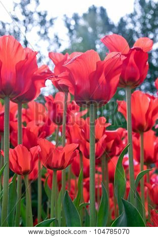Red Tulips In Flower Bed