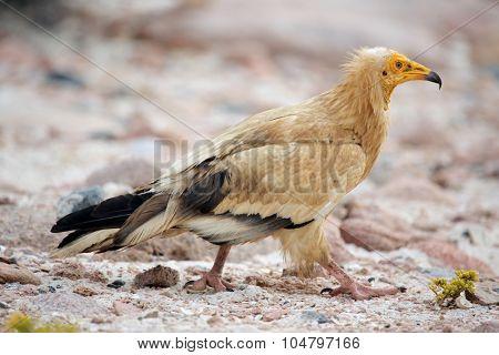 Egyptian Vulture (Neophron percnopterus), Socotra island