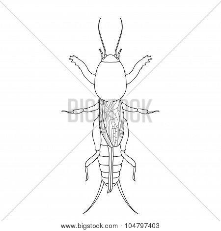 Gryllotalpidae.  European mole cricket. gryllotalpa. Sketch of mole cricket  mole cricket isolated o