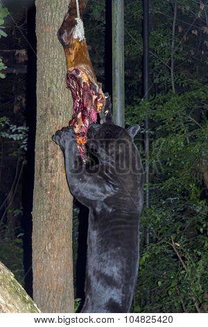 Black Jaguar At Night