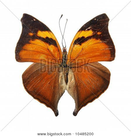 Butterfly on the white background, (isolated) (Prioneristhestlis)