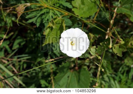 Bindweed Flower