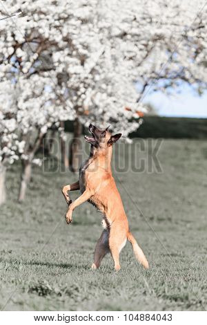 beautiful belgian shepherd malinois dog