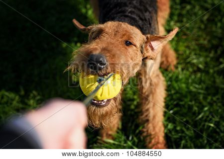 The Airedale Terrier playing ball