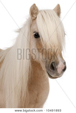 Palomino Shetland pony Equus caballus 3 years old in front of white background poster
