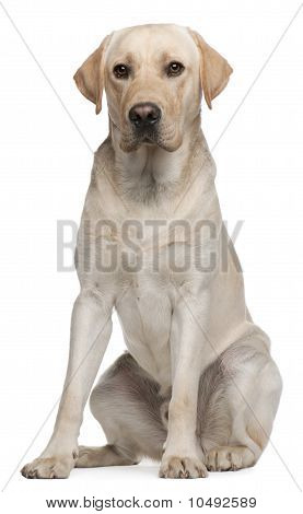 Labrador Retriever, 14 Months Old, Sitting In Front Of White Background