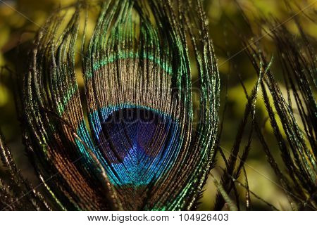 Beauty Peacock Feather
