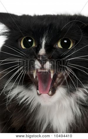 Close-up Of Aegan Cat Meowing, 3 Years Old, In Front Of White Background