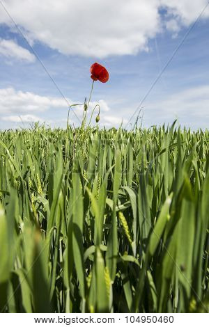 Lonely red possy flower sticking out from a in a green wheat field