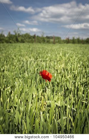 Lonely red possy flower in a green wheat field