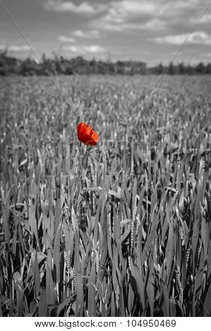 Lonely red possy flower in a green wheat field in black and white