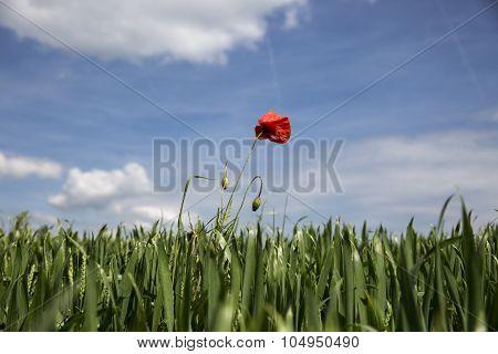 Lonely red possy flower in a green wheat fiels