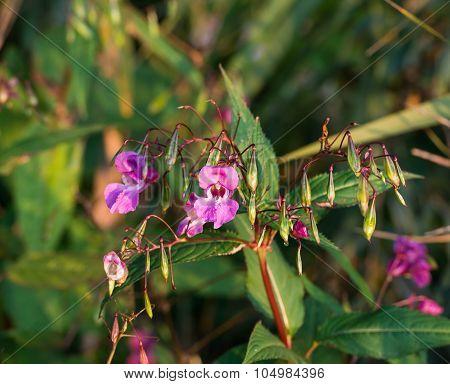 Dark Pink Blooming Himalayan Balsam