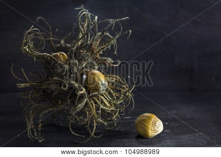 Turkish hazelnut or filbert Turkish (Corylus colurna) dry bristle fruit cluster and nuts on a background of dark rustic wood in creative light closeup with copy space poster