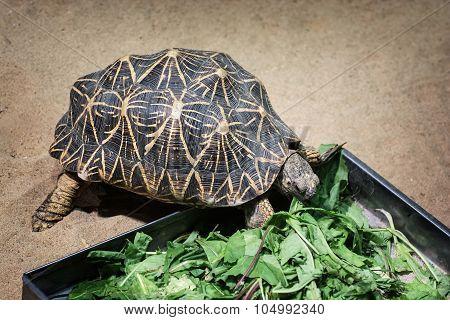 Radiated tortoise (Astrochelys radiata) feeding. Animal scene. poster