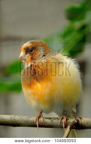 canary bird on tree