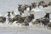 Wildebeests crossing the Mara river, during their annual migration poster