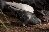 A feral pigeon eating in a public park with others in the background. poster
