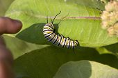 a little finger pointing at a milkweed caterpillar poster