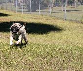 Pug at Dog Park