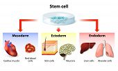 stem cell application. Embryonic Origin of Tissues and Major Organs. endoderm mesoderm and ectoderm. generating specialized tissues from embryonic stem cells and prospects for their applications poster