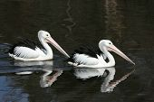 Two Pelicans swimming together on a lake with their reflections on the water poster